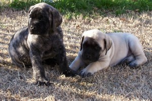Brindle & Fawn Puppies shot--8 weeks old