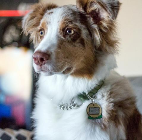 Oregon State add to Dog